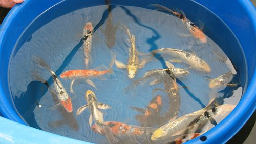 Japanese imported and domestic koi fish for sale for Black and white koi fish for sale