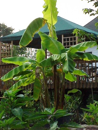 i have many banana trees that winter in the greenhouse