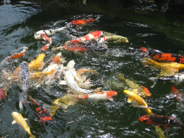 Koi and pond specialist your one stop for Fish pond images