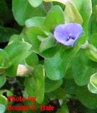 Bacopa grows about 4 inches tall.  Pretty bluish-purple flowers June though September.  Wonderful lemon scent. Dark green leaves