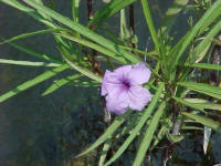 Blue Bells has dark blue-purple flowers on rich dark green foliage.  Grows 2 to 3' tall