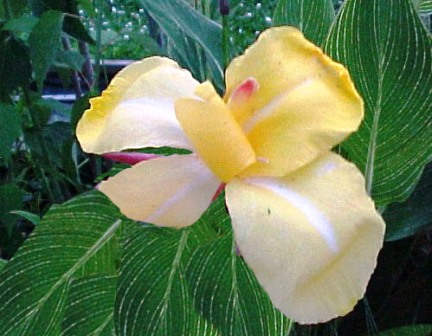 Canna Stripped Beauty