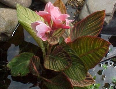 Pink Sunburst Canna