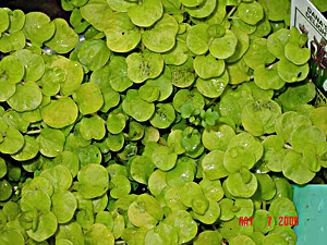 Creeping Jenny plant can be potted, or the rooted ends tucked into the rocks of a streambed or water fall. Hardy  zone 3 or higher