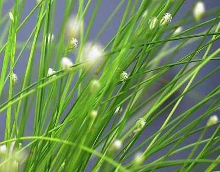 Fiber Optic Grass Isolepsis cernua