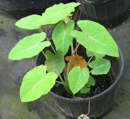 Lime-leaf Taro