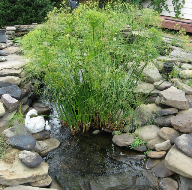How to achieve a cleaner clearer pond by growing pond for Using pond water for plants