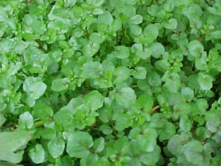 Watercress, Water Cress Nasturtium officinale