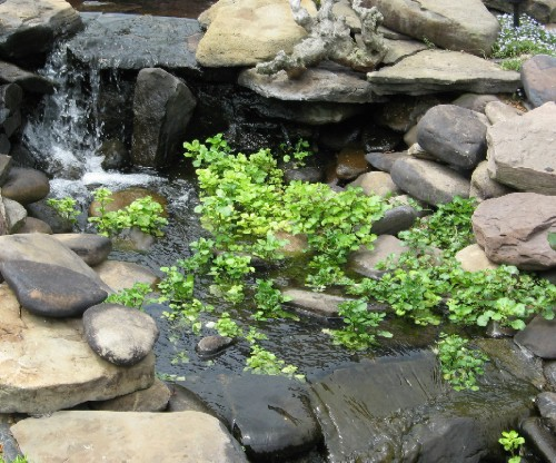 Watercress growing in my streambed