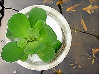Water Lettuce should not be put in the pond until the water is warmed up to at least 75 degrees. It prefers shade during the heat of the day and may bleach out if put in the sun.