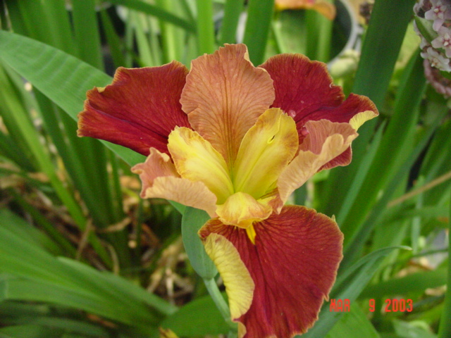 Lucy Pareng Louisiana water iris can be potted, or the rooted ends tucked into the rocks of a streambed or water fall