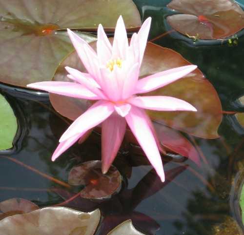 American Star Hardy Water Lily