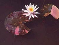 Arc-en-Ciel hardy water lily