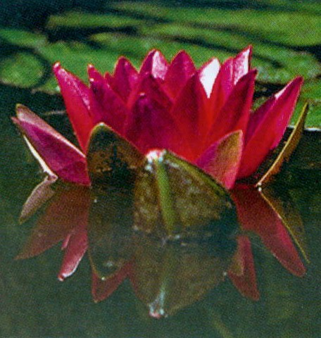 Glorosia Hardy Water Lily