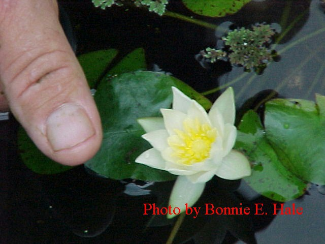 Helvola is is a great lily for patio ponds because of the small leaves and flowers.  This is definitely a miniature lily. Flowers and leaves are about the size of a US quarter