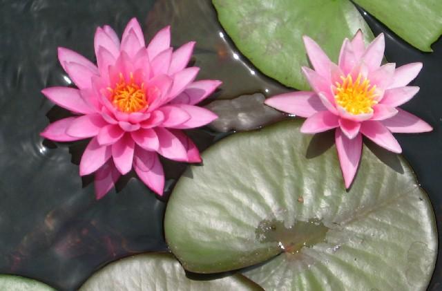 Mayla Hardy Water Lily