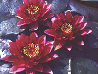Red Queen flowers are 6 to 8 inch deep red and foliage starts a lovely burgundy color and then turns green as it matures