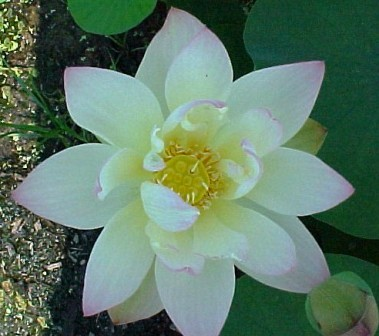 Green Maiden Lotus Changes from Pink-Yellow-Cream