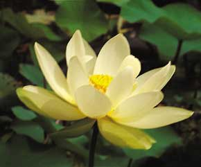 American lotus, Yellow lotus, Yellow water lotus, Nymphaea lutea