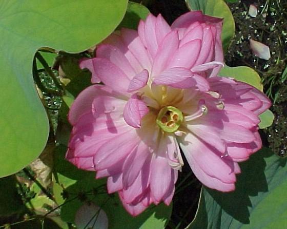 Momo Botan  Lotus, Nelumbo 'Momo Botan'