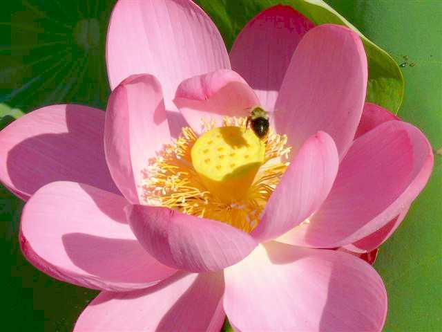 Russian Red Lotus, Russian lotus  Lotus,  'Nelumbo nucifera var.caspicum'