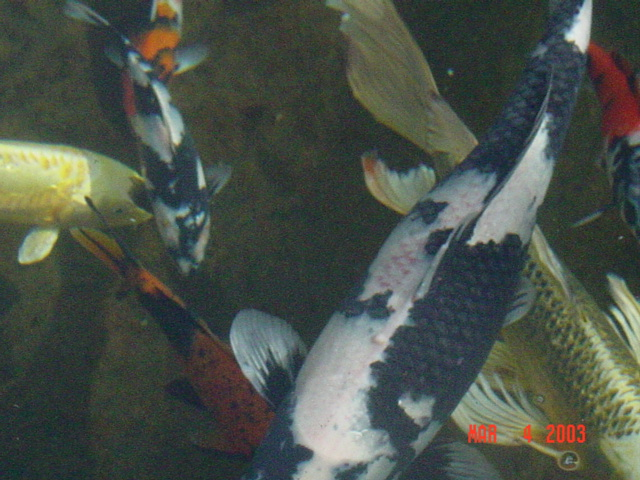 Ulcer disease in a koi for Koi fish eggs for sale