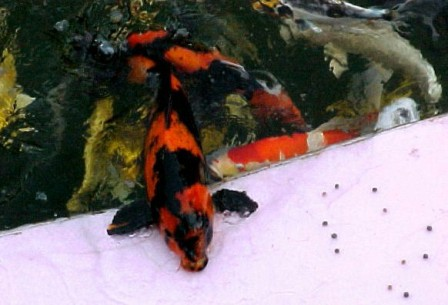My koi breeders page 1 for What do koi fish eat
