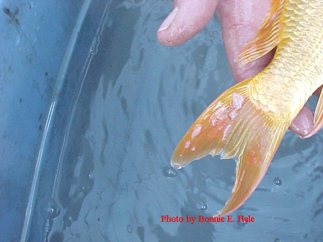Carp Pox 4 days after warming the water