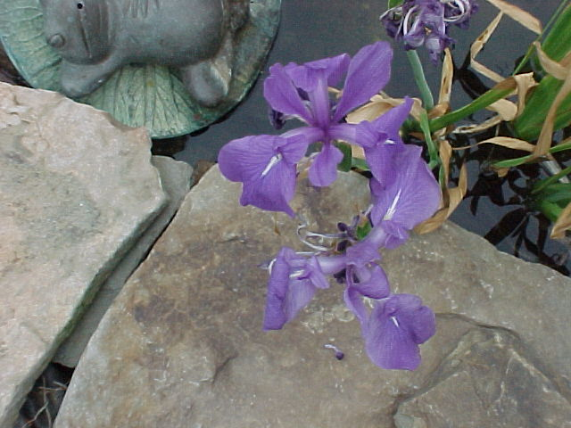 Queen of Violet Louisiana water iris can be potted, or the rooted ends tucked into the rocks of a streambed or water fall.