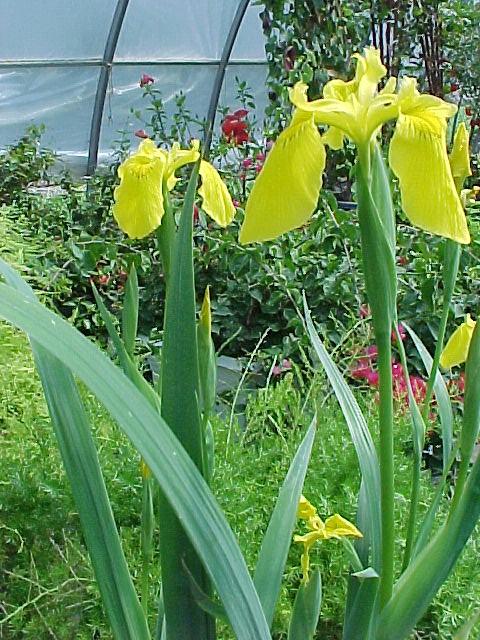 Yellow Flag water iris