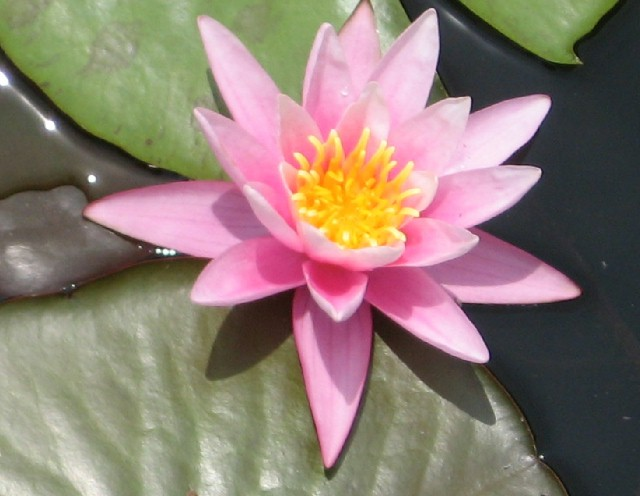 Pink Sensation has silvery-pink blooms.  This lily is very popular because the flowers remain open into the evening hours.