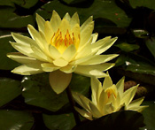 Texas Dawn  has very bright yellow flowers are held up above the water.  Mottled leaves make a stunning contrast to the flowers.  Good bloomer.