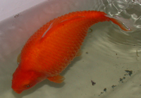 Dropsy or pine cone disease in a gold fish